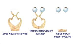 eye optic nerve evo