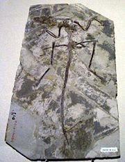 Microraptor Fossil