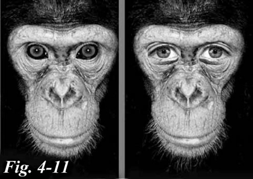 4-11 chimp eyessmaller good_edited-1