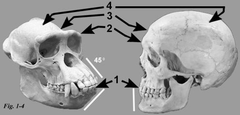 1-4 ape human skull