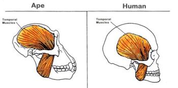 ape temporalis