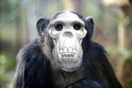 chimp w skull